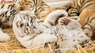 Тигрик П'яточкин среди хищников 😊 Приятного просмотра 🧡 Тигры. Тайган. Tigers life in Taigan.