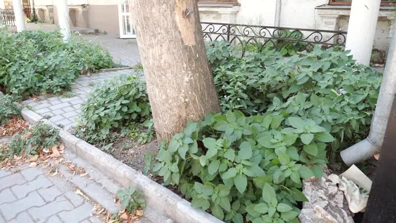 Гибель деревьев на проспекте Нахимова