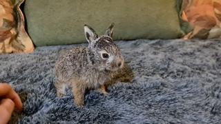 """Правильные зайчата говорят """"гаф"""". Русачонок Лило."""