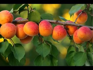 Выращивание абрикоса из косточки на Южном Урале.