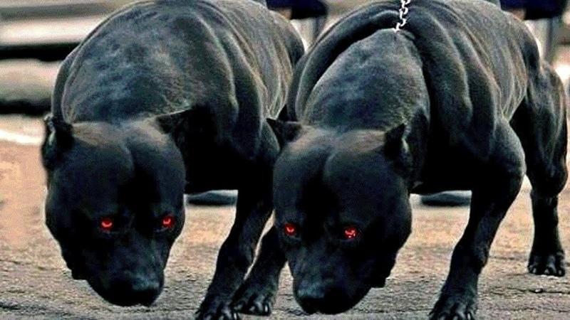 10 Cães Mais Mortais do Mundo