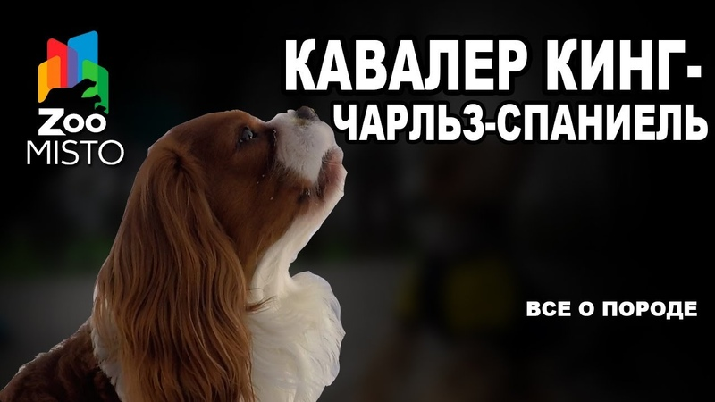 Кавалер кинг чарльз спаниель Все о породе собаки Собака породы кавалер кинг чарльз спаниель