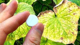 Моментально Спас Огурцы От Пожелтения Этим Аптечным Препаратом! Как Сохранить Урожай.