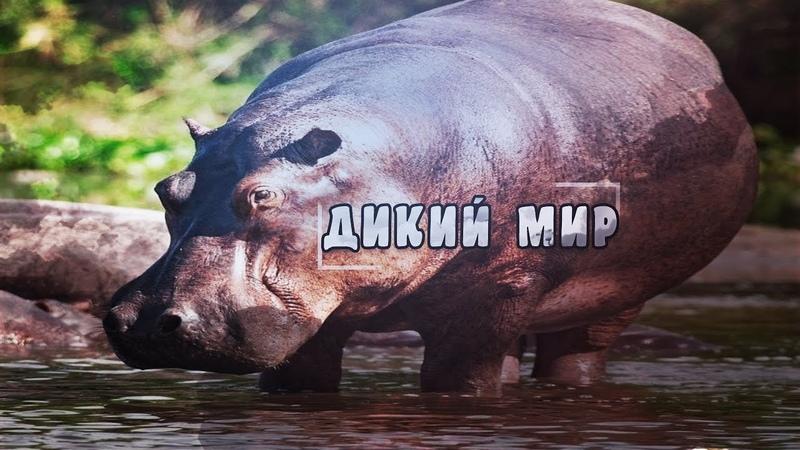 Удивительная природа дикие животные Бегемоты Документальный фильм Animal Planet