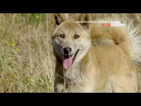 Тайны дикой природы Австралии Динго 4K