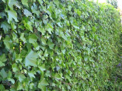 Декоративные лианы-многолетники для дачи и сада., изображение №5