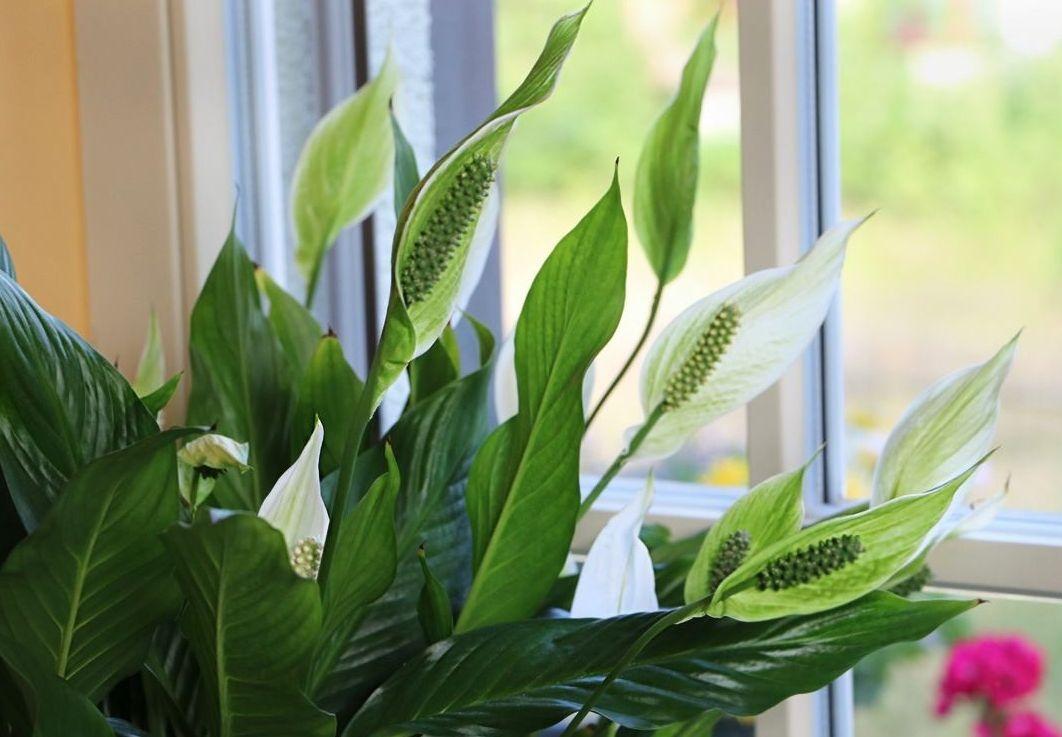 сторона женские цветы в доме фото и названия речь идет кухне