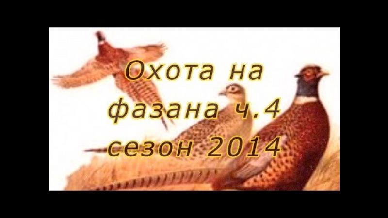 Охота на фазана с легавыми дратхаарами на Юге России 2014 г Ч 4