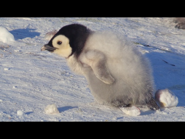 Super cute penguin chick tries to make friends Snow Chick A Penguin's Tale BBC