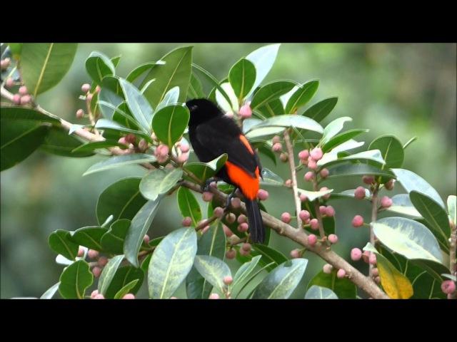 Passerinis tanager Краснопоясничная расписная танагра Ramphocelus passerinii