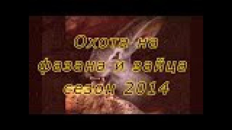 Охота на фазана и зайца с легавыми дратхаарами на Юге России Сезон 2014г