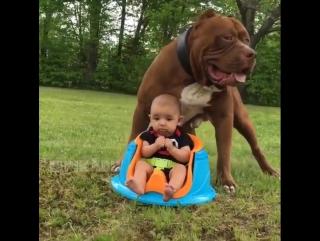 Знакомьтесь, этого милого пёсика зовут Халк и он лучшая нянька для малыша