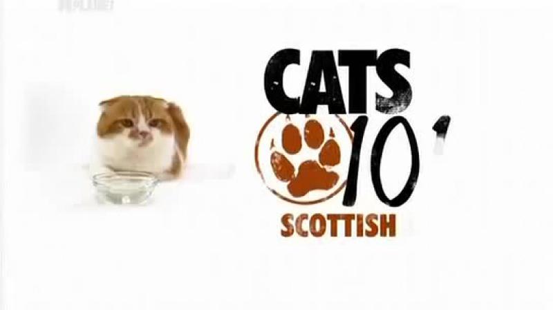 О породе шотландских вислоухих кошек