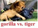 Горилла против тигра! СМЕРТЕЛЬНАЯ СХВАТКА! A terrible fight: lion vs gorilla