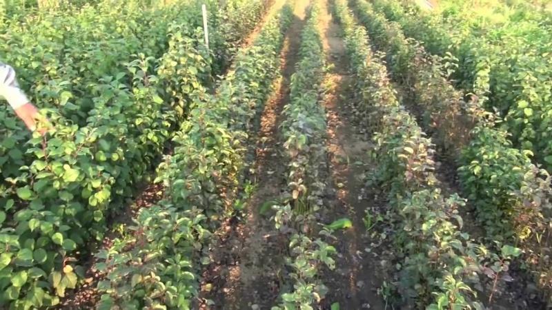 Выращивание яблонь и груш на семенных подвоях. Уникальные достижения и технологи