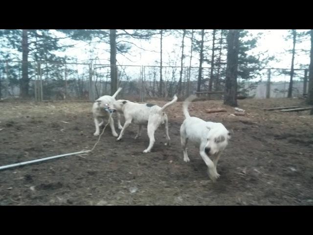 7 апреля 2017 г Пит бульдоги от Хана и Беллы 11 месяцев и сама Белла с ними