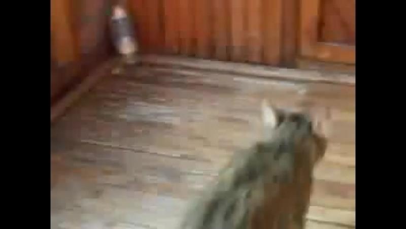 Шиншила и кошка*