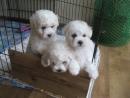 КУРСК щенки бишон фризе продажа 89102162389
