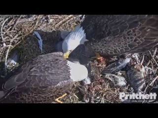 1/7/18..SWFL Eagles Harriet Doesn't Want Dad Feeding the Kids