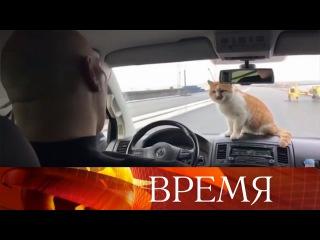 Крымский кот Мостик: звездные повадки и тысячи поклонников.