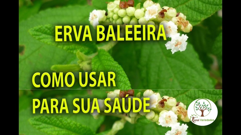 ERVA BALEEIRA (Cordia verbenacea ) HORTA MEDICINAL, Plantar em Casa