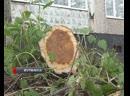 В Мурманске за один день срубили четыре десятка деревьев