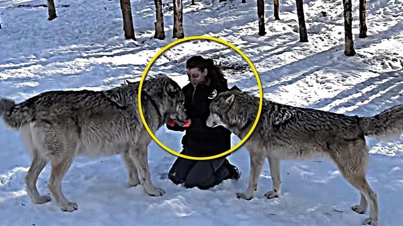 УДИВИТЕЛЬНО! Волки помогли принять роды у беременной женщины во время бури
