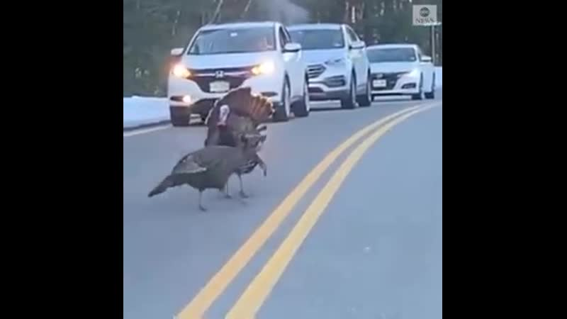 CROSSING GUARD This very responsible turkey halted traffic on a two-lane road in New Hamps