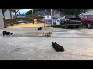 Мастер класс от пастушьих собак