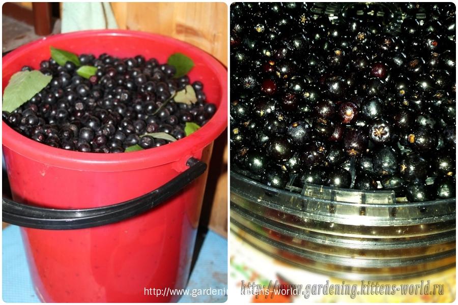 Выращивание, уход и обрезка аронии-сушка ягод в спец.сушилке занимает не менее 15ч.