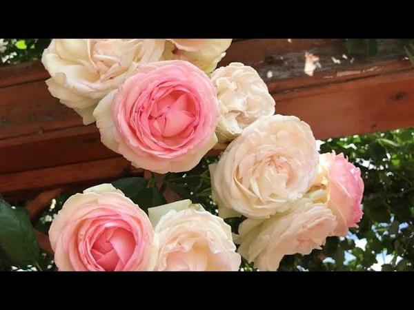 Покупка английских роз 🌹Как не прогадать?