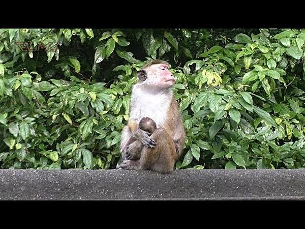 44 Шри Ланка Дамбулла Горы Много диких обезьян Sri Lanka Dambulla
