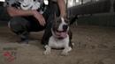Питбуль опасная собака! Правда или миф Впечатления хозяев Working Dog DNA