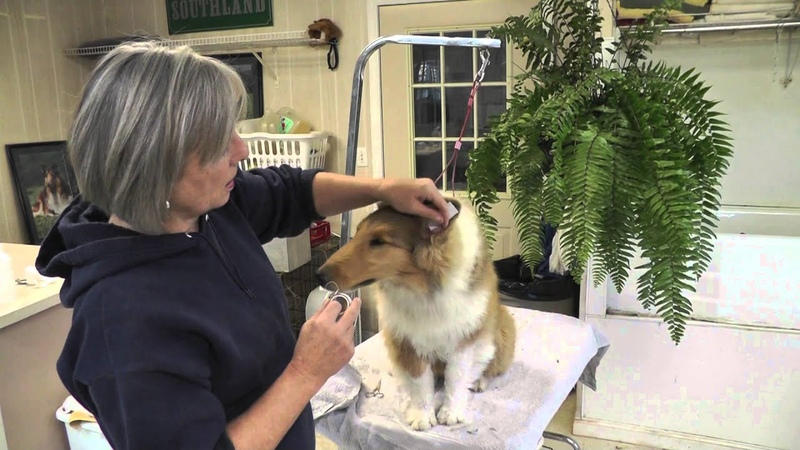HF Lady Snickers Canine Ear Taping