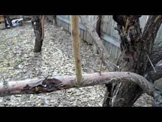 Весенняя обрезка - маточный сад