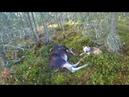 Охота 244 загонная на лося