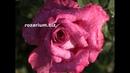 подготовка роз к зиме, семенные коробочки после цветения, питомник роз полины козловой,