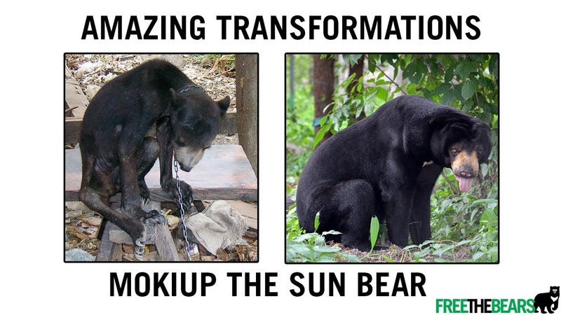 FROM starving covered in sores TO healthy handsome Mokiup the sun bear