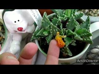 Олины Истории 🏜️ Влог#63🌸 Цветут Хризантемы-Розы, Тефрокактусы,🐢 Агавы,Беседка готова