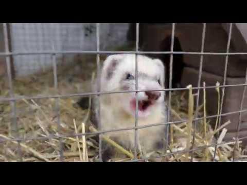 Фретка мило улыбалась и игралась Бахчисарайский парк миниатюр зоопарк Крым