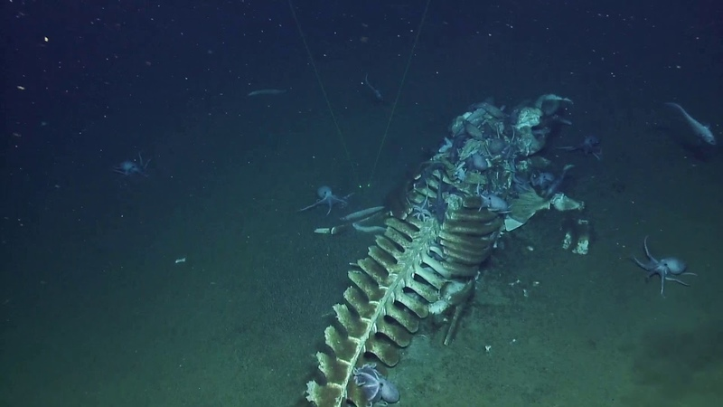 Whale Fall Actively Devoured by Scavengers at Davidson Seamount | Nautilus Live