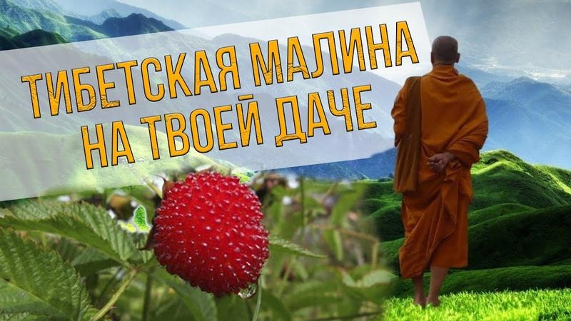 Тибетская малина Отзыв опытного малинника
