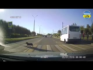Собака показывает пример, как переходить через дорогу