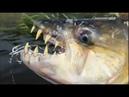 Рыбалка на реке Конго Якуб Вагнер. Рыбалка на рыб монстров.