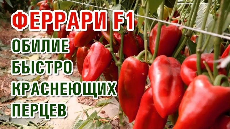 БЫСТРО КРАСНЕЮЩИЙ ПЕРЕЦ ФЕРРАРИ F1