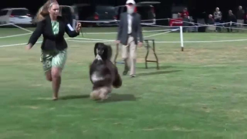BIS Ch Suliman Poetic Justice Australia's 2014 Number 1 Afghan Hound All Breeds DOLPS