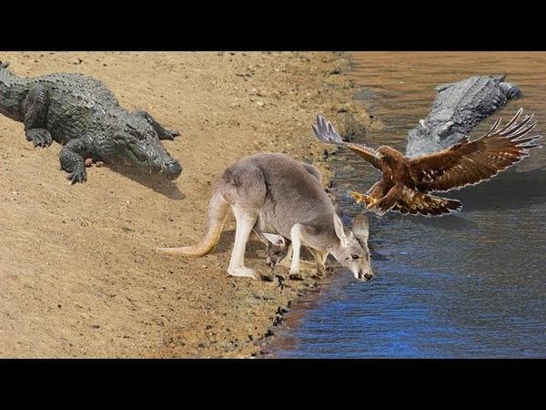 Hoảng Hồn Đại Bàng Quắp con mồi kangaroo ,cáo , Hổ Mang Chúa Đáng xem nhất thế giơi động vật