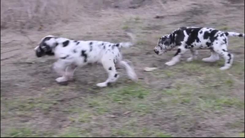 Great Dane puppies Litter У in the kennel Norilskiy Suvenir date of birth 02 09 2019