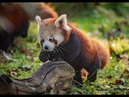 Baby red panda twins learn to climb trees at Chester Zoo
