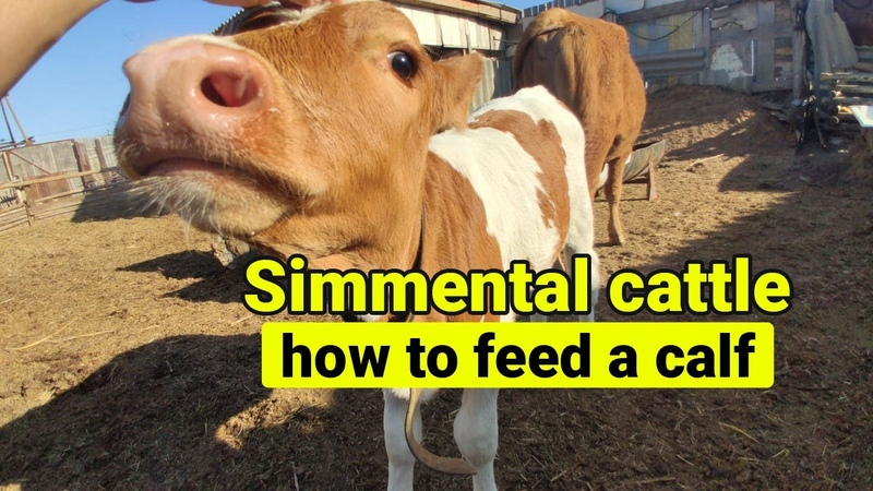 Simmental cattle how to feed a calf Simmental cow 西门塔尔牛 如何喂小牛